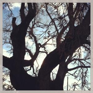Redding Oak Tree